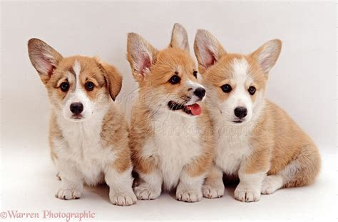 dorgi puppies for sale corgi pups for sale in the uk breeds picture