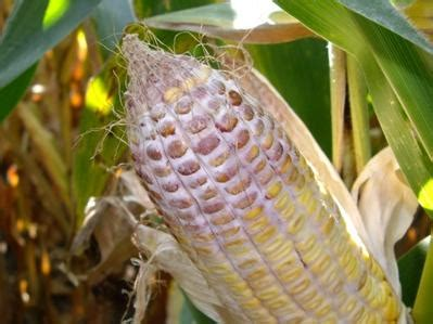 Think You Corn by Mycotoxins Why You Should Think Before Wheat