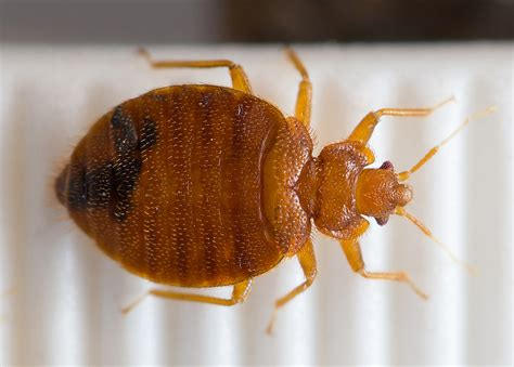 how are bed bugs transferred bedbug genome uncovers biology of a pest on the rebound