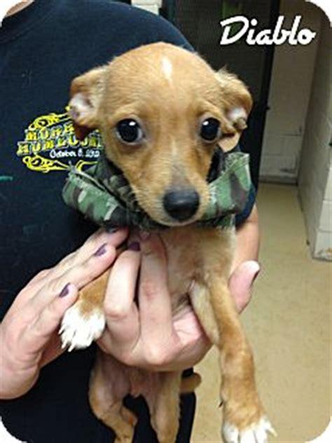 puppies for adoption in ct glastonbury ct chihuahua mix meet chihuahua puppies a puppy for adoption