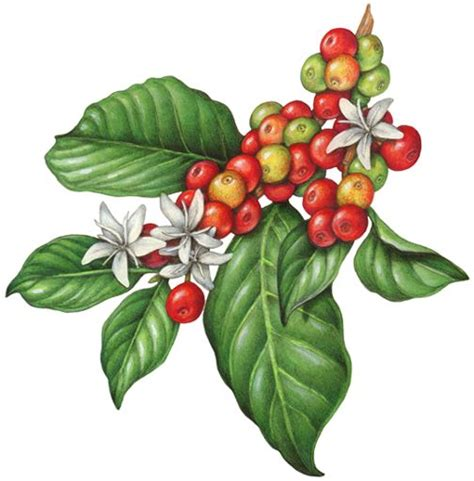 coffee plant wallpaper botanical illustration of a branch of a coffee plant with