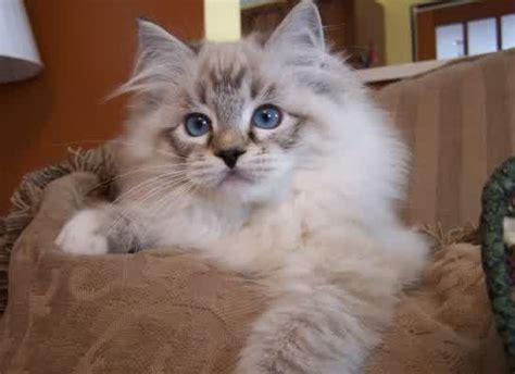 ragdoll cat personality characteristics  pictures