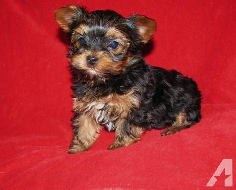 akc teacup yorkies akc yorkie puppies now taking deposits for sale in willisburg kentucky classified
