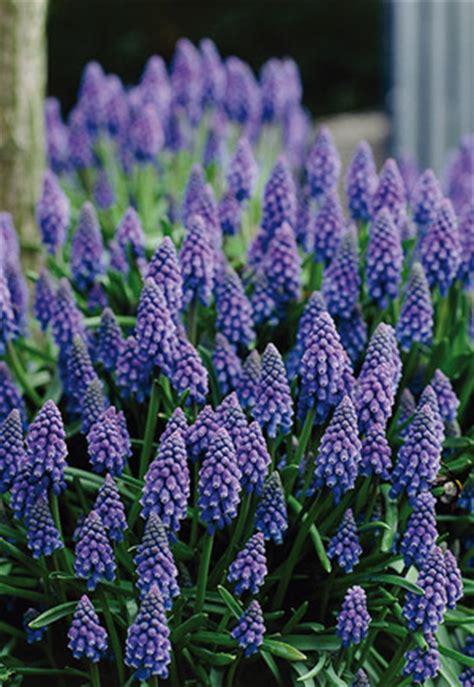 muscari grape hyacinth muscari armeniacum grape hyacinth