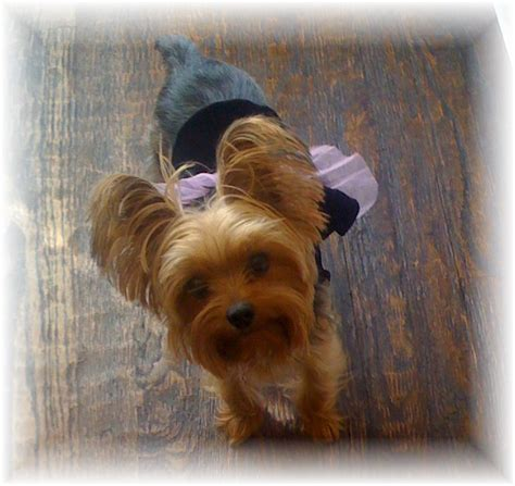 chi yorkies chorkie chihuahua yorkie mixed dogs chia yorkie breed guide breeds picture