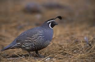 new world quail wikipedia