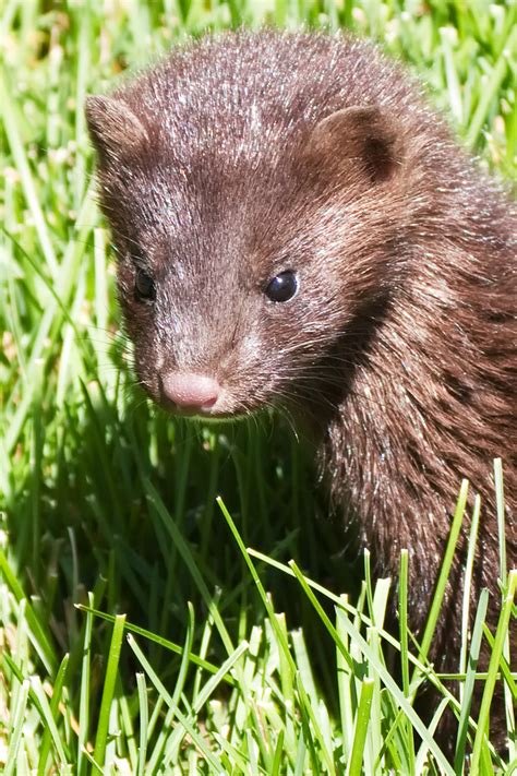 baby mink shelly hokanson flickr