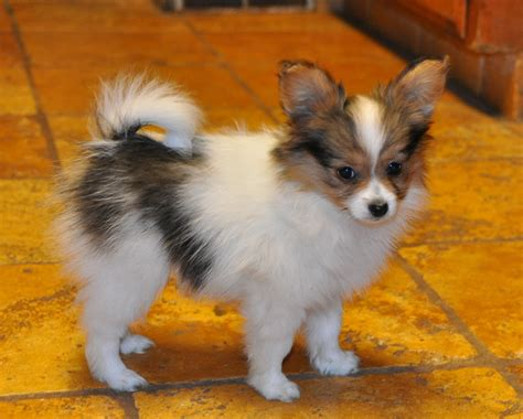 papillon puppies road s end papillons 10 week papillon puppy