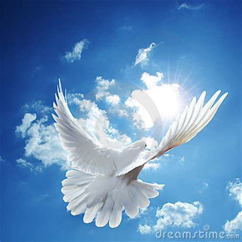 white dove blue sky stock images image