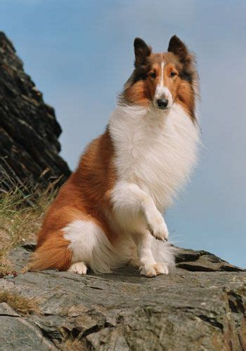 what of is lassie lassie dogs shetland sheepdog raising and the end