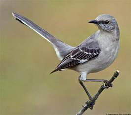 download mockingbird pic pictures on animal picture society