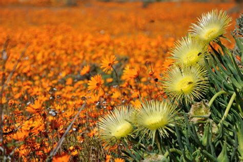fiori africani trip to namaqua national park in namaqualand south africa