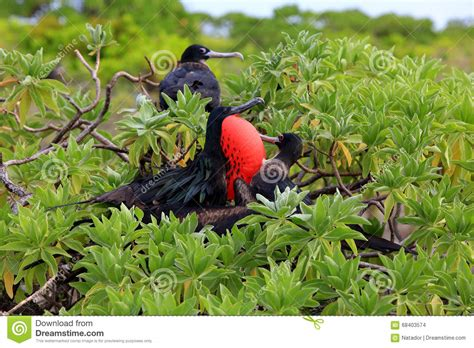 great frigatebird couple during mating season stock photo