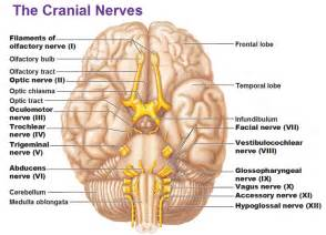 Source http antranik org wp content uploads 2011 11 cranial nerves