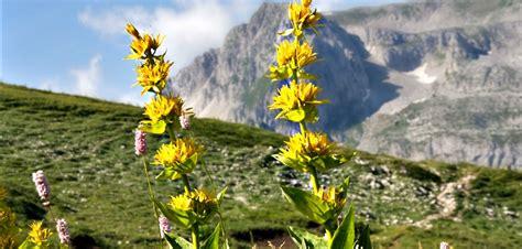 genziana fiore la genziana una pianta miracolosa eccellenze d abruzzo
