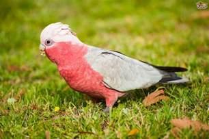 galah cockatoo pets4homes