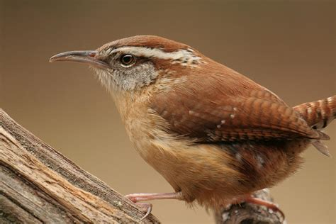 carolina wren photograph by daniel reed