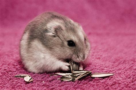 hamster mobile free hamster eat wallpaper free 10683 wallpaper walldiskpaper