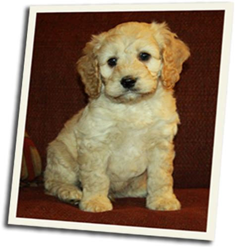 puppies for sale ontario cockapoopuppywaitinglist 19 puppies for sale dogs for