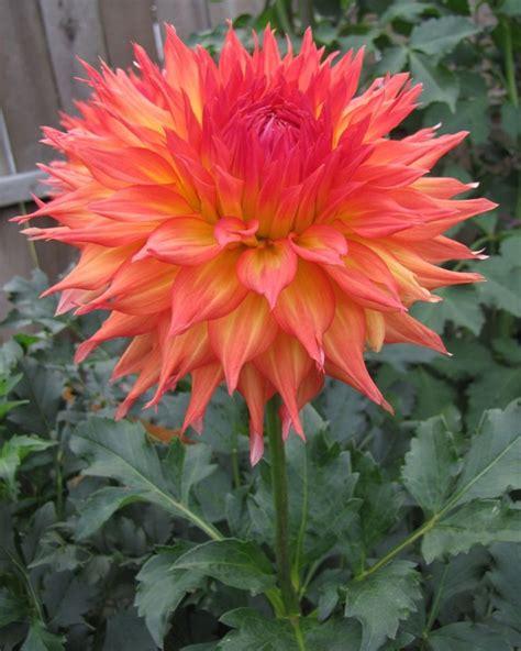 Dahlia Flower Garden 541 Best Dahlias And Zinnias Images On Beautiful Flowers Dahlia Flowers And Flowers