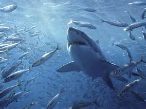 shark painting great white shark carcharodon photograph by mike parry