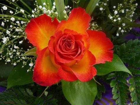 imagenes rosas muy hermosas rosas bonitas de colores imagui