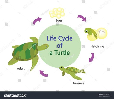 cycle of a turtle diagram turtle cycle diagram www pixshark images