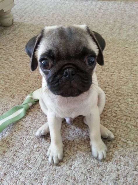 12 week pug gorgeous pug boy puppy 12 weeks sale greater manchester pets4homes