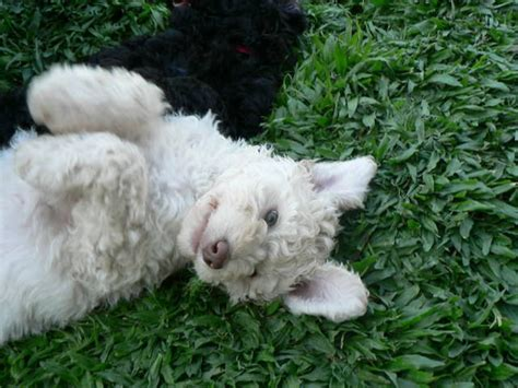 poodle puppies for adoption standard poodle dogs for adoption breeds picture