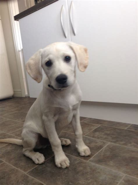 15 week puppy labrador puppy loughborough leicestershire pets4homes