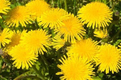 tarassaco fiore sciroppo di fiori di tarassaco 3 4 5