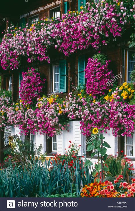 traditional alpine house stock photo image of blooming flowers growing in the window boxes of a traditional swiss
