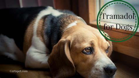 tramadol for dogs dosage tramadol for dogs the a z guide certapet