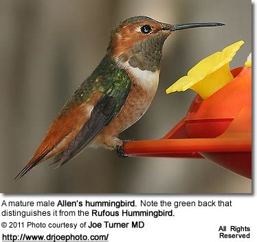 top 28 hummingbird territorial behavior journey north