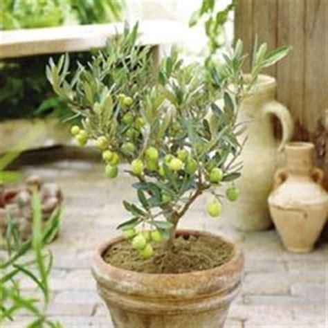 Jual Bibit Olive olive leaf tea benefits how to make side effects