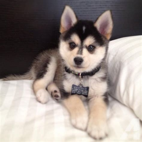 puppies for adoption in michigan pomsky puppies for adoption for sale in beechwood michigan classified