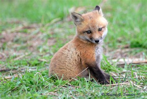 imagenes de zorros reales red fox renard roux zorro rojo vulpes vulpes flickr