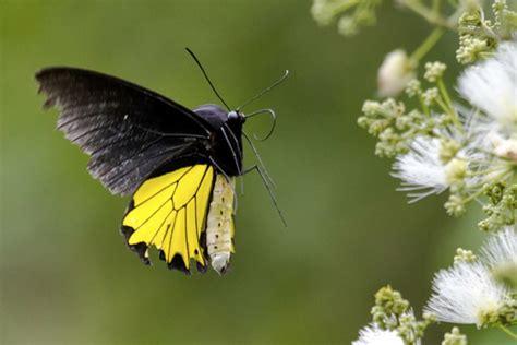 Pakan Walet Nusantara menanam pakan menjaga kehidupan kupu kupu bantimurung