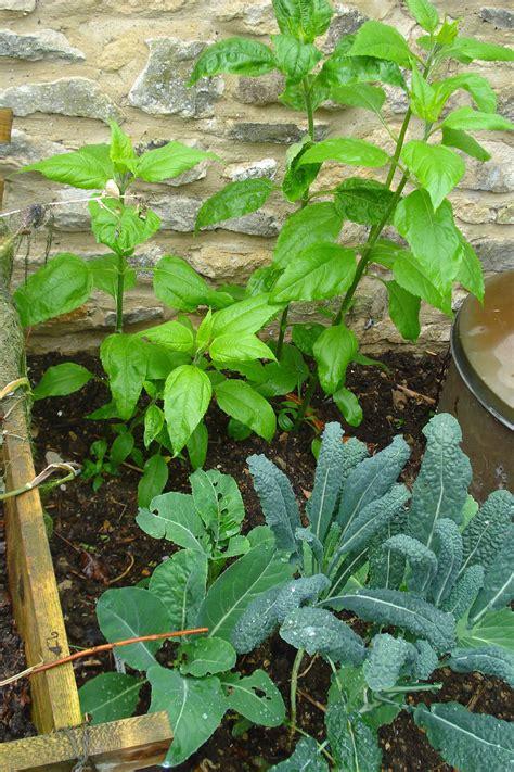 Topinambur Garten Pflanzen by Topinambur Pflanzen Die Gesunde Knolle Selbst Anbauen