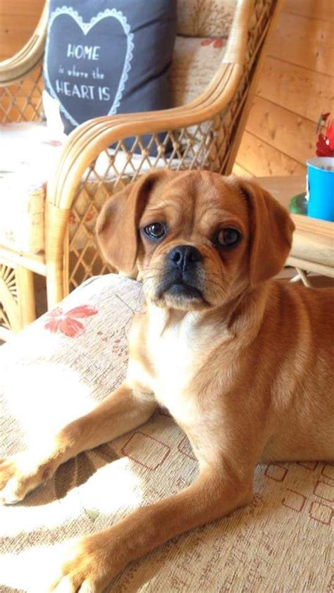 pug cross cavalier for sale pug cross cavalier king charles norfolk pets4homes