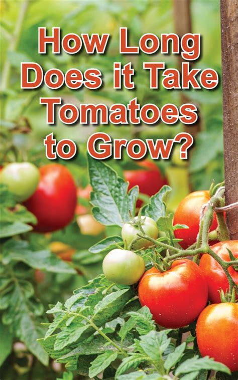 how long does it take to grow a top knot men how long does it take tomatoes to grow countryside network