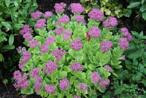 fall flowering perennials 28 best fall perennial flowers best fall blooming