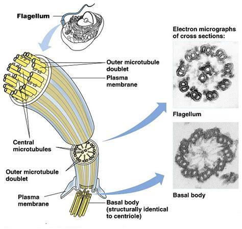 diagram of flagella algae flagellation whiplash tinsil axoneme isokont