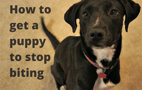 how to a puppy to stop biting will yelping stop a puppy from biting thatmutt a