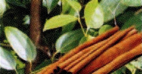 Langkamustika Kembang Johar Batu Keratongnjati Cirebon Berkhasiat 1 khasiat kayu manis wedange mbah darmo mbah darmo wedang uwuh wedang secang wedang sereh