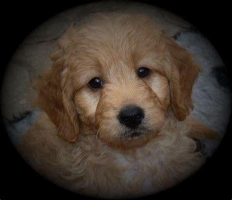 mini doodle welpen kaufen mini goldendoodle welpen aus golden retriever und toypudel