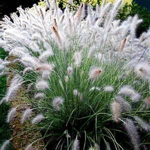 Perennial Garden Plans Zone - pennisetum alopecuroides hameln from santa rosa gardens one of the best dwarf fountain grasses