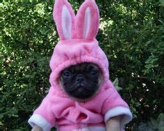 black pugs in costumes 1000 images about costumes on costumes