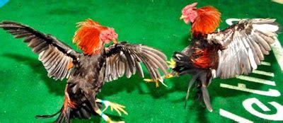 videos de gallos las peleas mas rpidas emocion gallistica con manuel perell 243 traba el patr 243 n