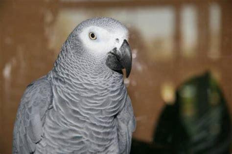 cenerino alimentazione pappagallo cenerino alimentazione e prezzo tutto ze